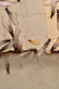 Termites and swarmers