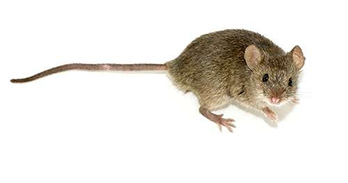 A field mouse, typical of Rhode Island.