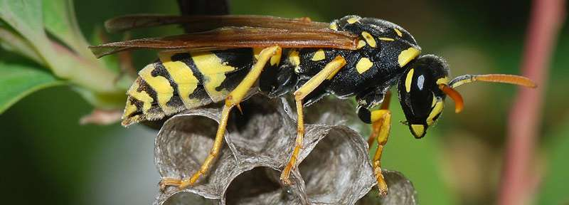 Wasp on small nest