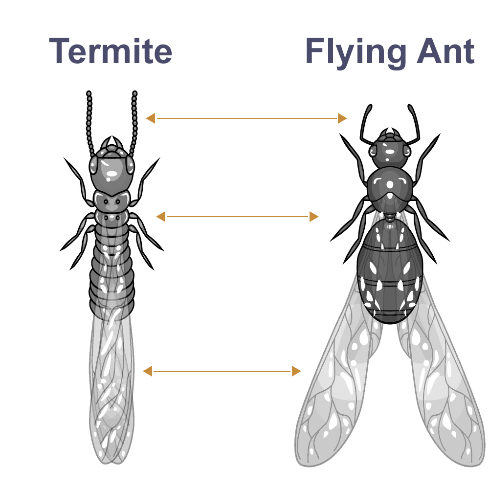What Are Flying Termites