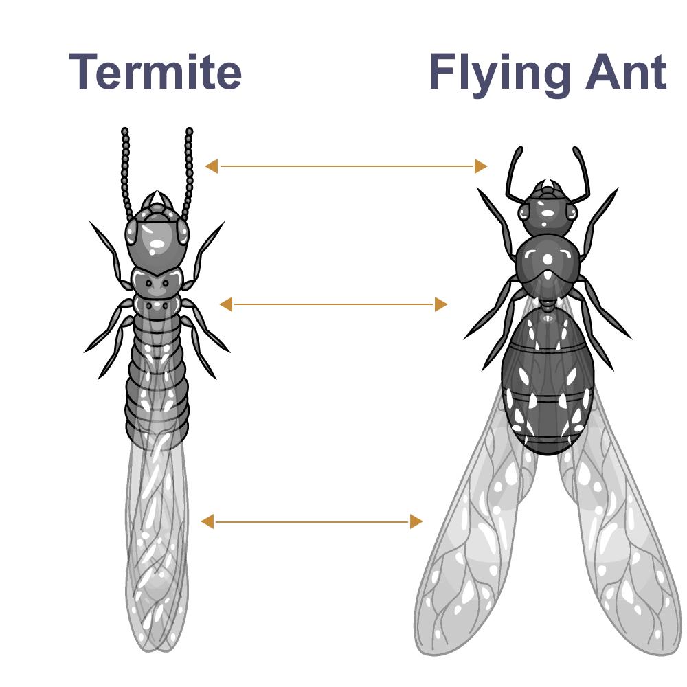 Flying Termite Control