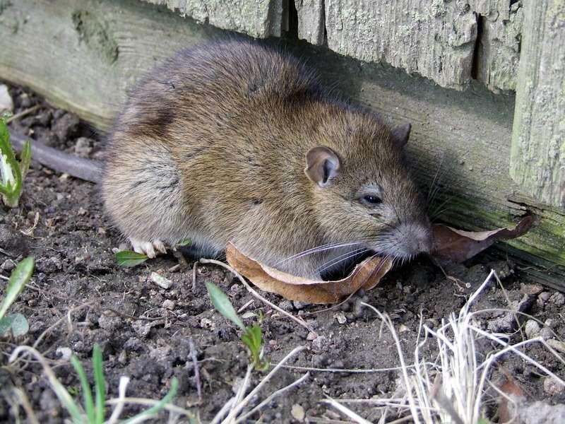 Norway Rat found in Rhode Island RI