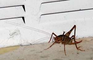 Camel cricket in front of vent