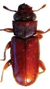 Powderpost beetle Vertical