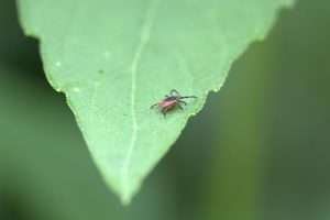 Deer Tick on Leaf in yard
