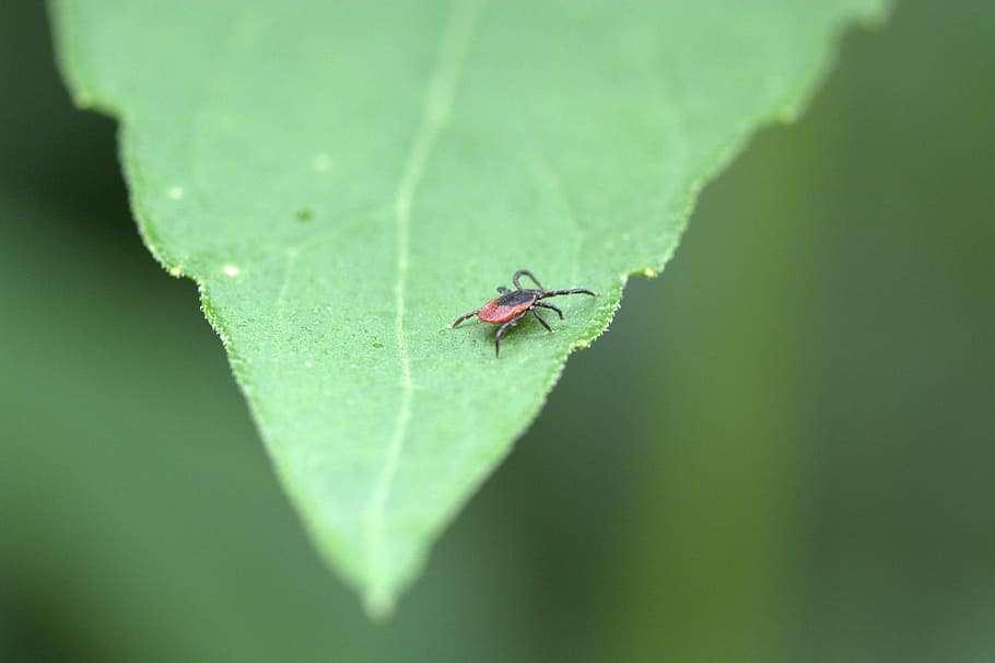 Deer Tick on Leaf in yard