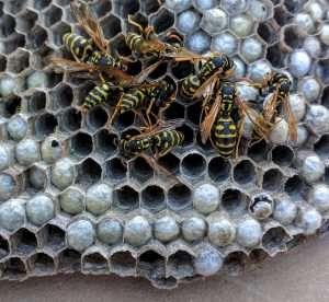 Paper Wasps Nest